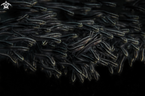 A striped eel catfish