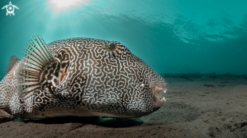 A Giant Puffer