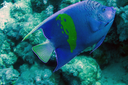 A Blue Angelfish