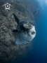 A Southern Ocean Sunfish