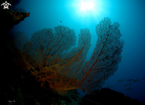 The Sea Fans