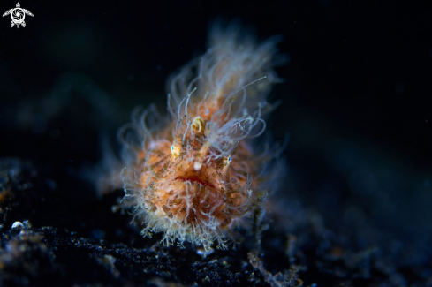 The Hairy Frog Fish