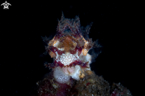 A Vampire Nudibranch