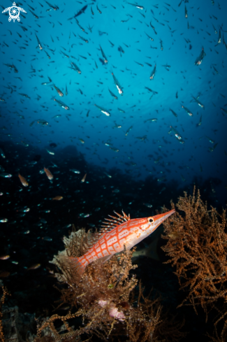 The Long Nose Coral Hawkfish