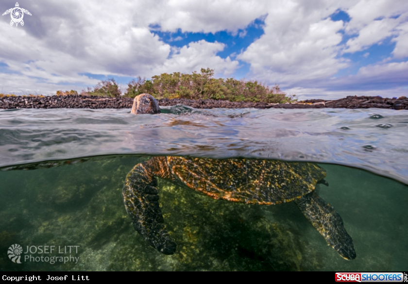 A East Pacific green turtle