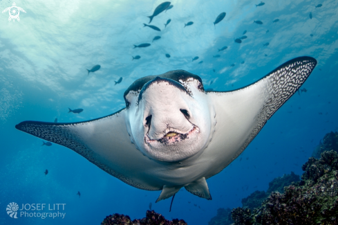 A Pacific white-spotted eagle ray