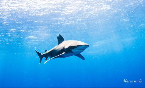 A Ocean white tip shark