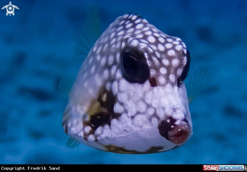 A Smooth Trunkfish