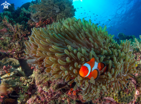 A Amphiprion ocellaris | Clownfish