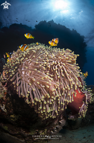 The Amphiprion bicintus