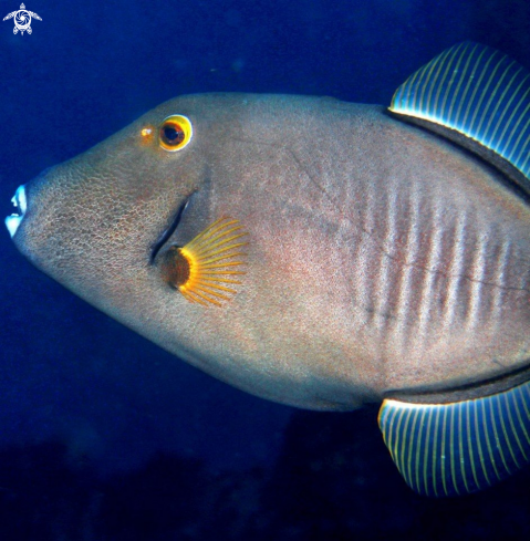 The Triggerfish