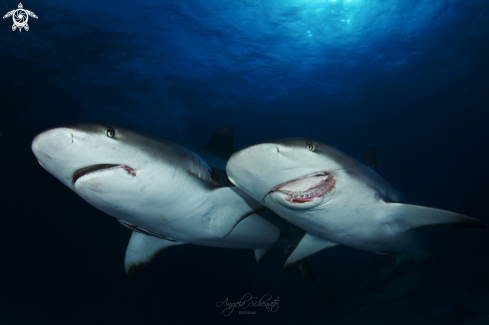 The GrayReef Shark