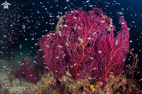 A Mediterranean sea fan