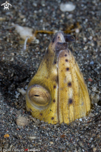 A Blacksaddle Snake Eel