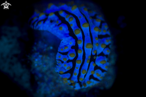 A Nudi in UV Light