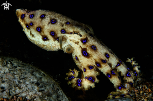A Blue-ringed octopus