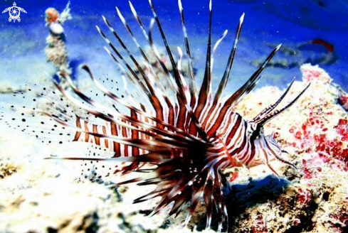 A Pteroinae | Lionfish