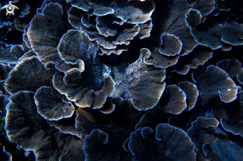 A Table Coral