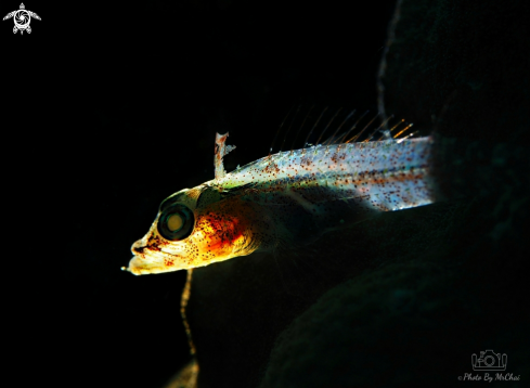 A Coral goby