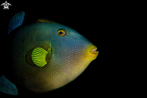 A The pinktail triggerfish