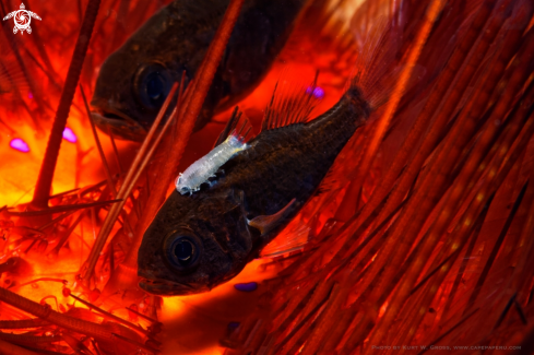 A Tubed Siphonfish on a Fire Urchin