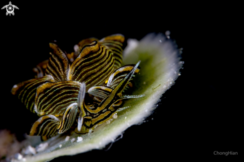 A Cyerce Nigra | Tiger Butterfly Nudibranch