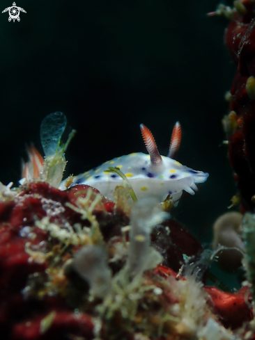 A Hypselodoris kanga | Nudibranch