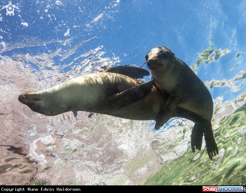 A California sea lions