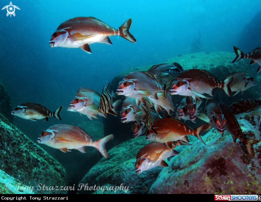 A Old wives with red morwong