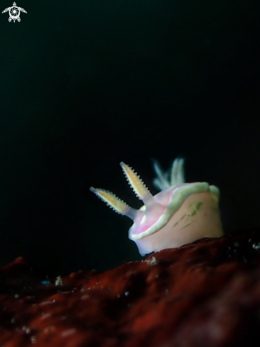 A Ceratosoma sp. | Nudibranch