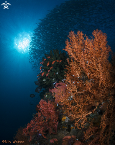 A Gorgonian Sea Fan