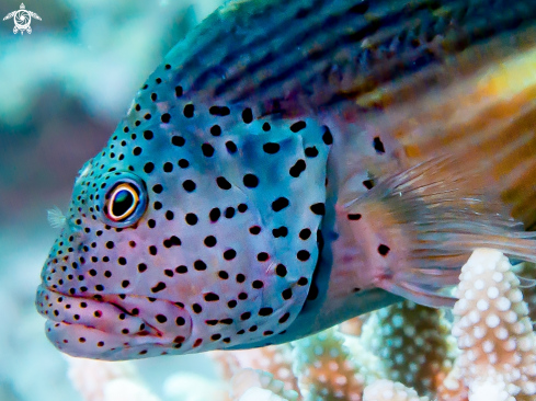 A 雀斑副 , Forster's hawkfish