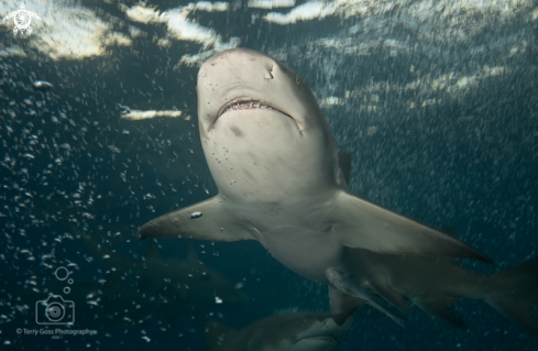 A Negaprion brevirostris | lemon shark