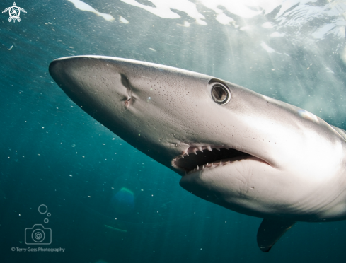 A Prionace glauca | blue shark