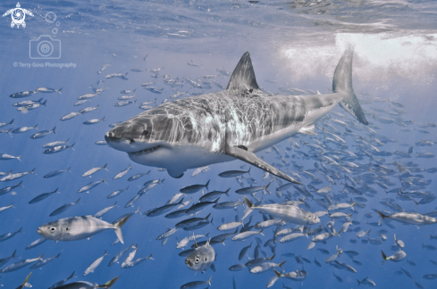 A Carcharodon carcharias | white shark