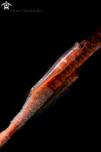 A Bryaninops amplus | GOBY