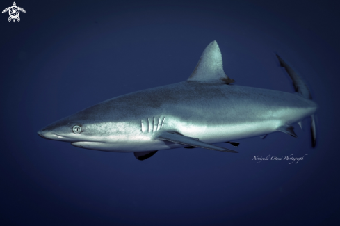 A Grey reef shark