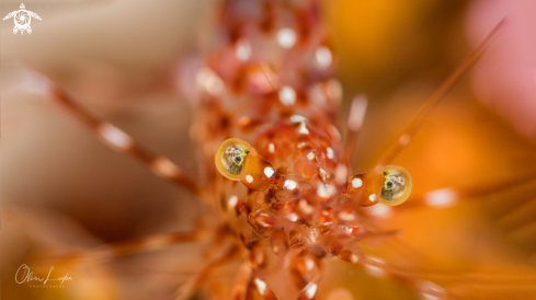A Anton Brunni cleaner shrimp