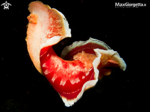 A spanish dancer + shrimp | Ballerina spagnola con gamberetto