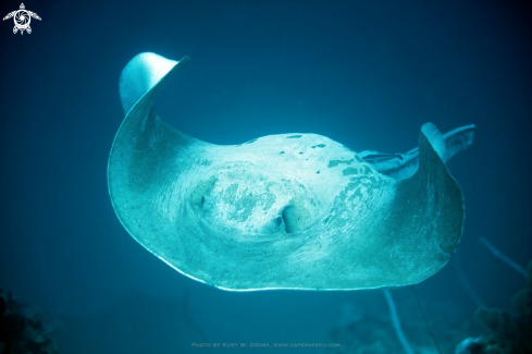 A Pastinachus sephen | Cowtail Ray