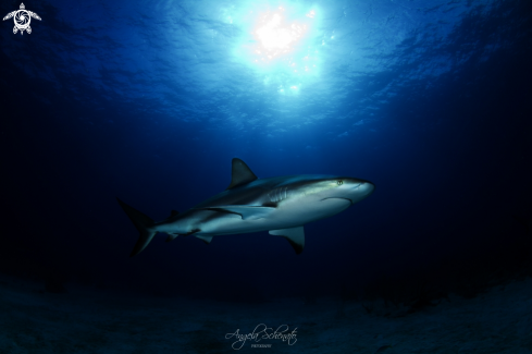 A Gray reef Shark