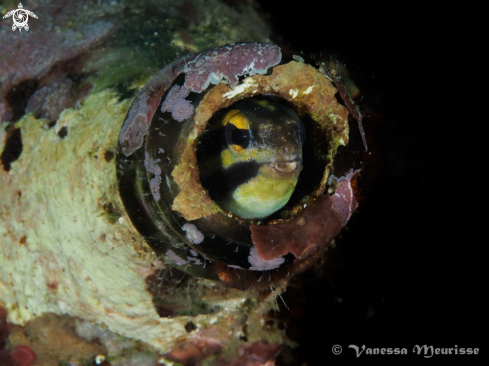 A Shorthead Fang Blenny | Blennie de Fang