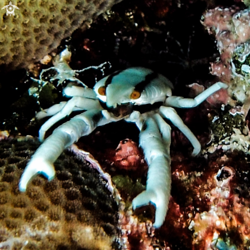 A Squat Lobsters (Coral Crab)
