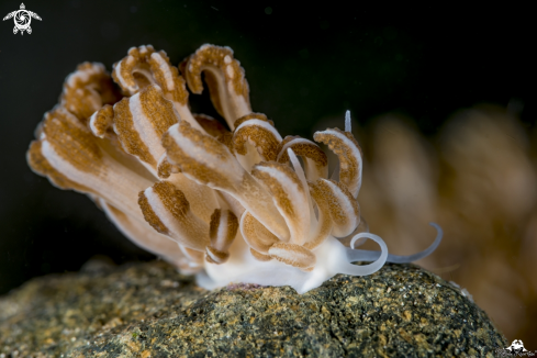 A soft coral nudibranch