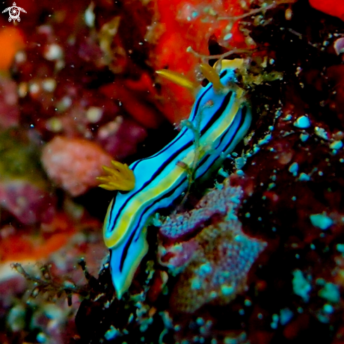 A Chromodoris Nudibranch