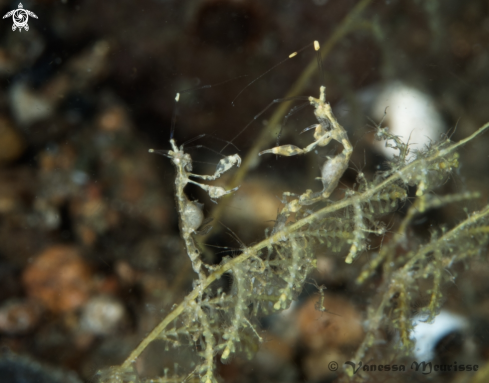 A Skeleton Shrimp / Ghost Shrimp