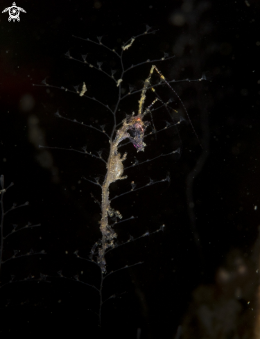 A Caprella sp | Skeleton shrimp
