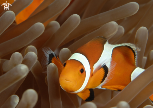 A Amphiiprion ocellatus | False Clown Anemonefish
