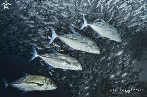 The school of jackfish