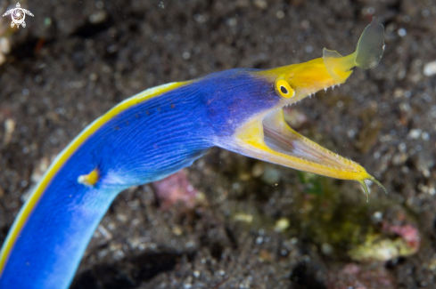 A Ribbon eel